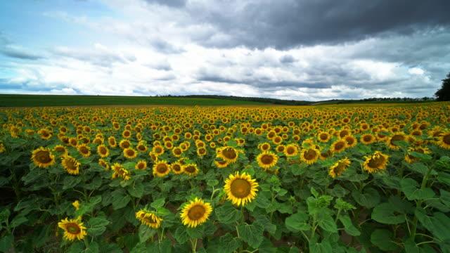 sunflower field - sunflower стоковые видео и кадры b-roll