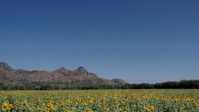 sunflower field with clear blue sky