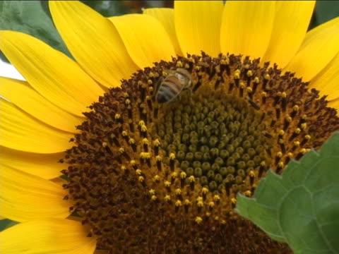 vídeos de stock, filmes e b-roll de jardim em flor de girassol - flor temperada