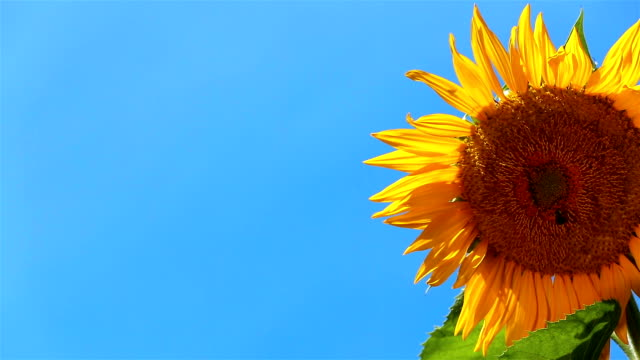 Sunflower Half Right