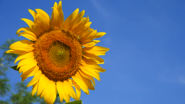 Sunflower Head with Pollens and Petals on Blue Sky Backgrounds video