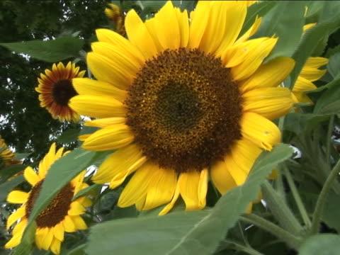 vídeos de stock, filmes e b-roll de girassol em bloom - flor temperada