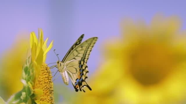 vidéos et rushes de tournesol en pleine floraison se balançant dans le vent - pureté