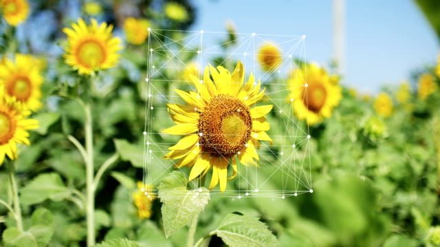 Sunflower in Organic Farm with Info-graphic, Turning Cube Connection and Dots