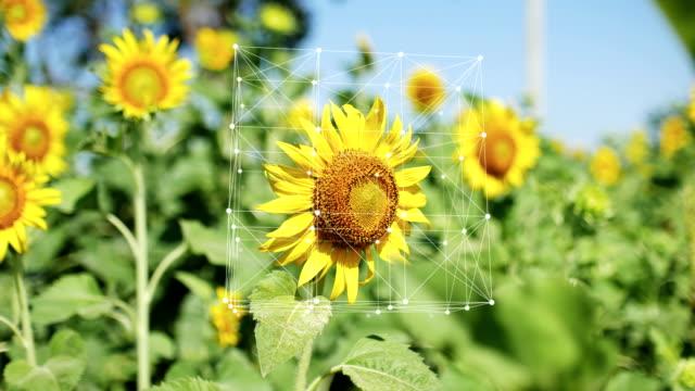 sunflower in organic farm with info-graphic, turning cube connection and dots - technika ilustracji filmów i materiałów b-roll