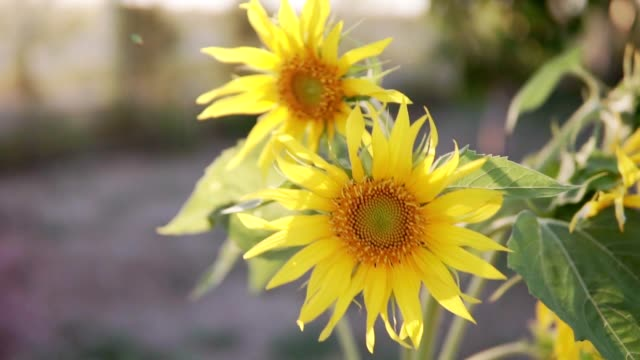 Sunflower in slow motion while sunset on windy day
