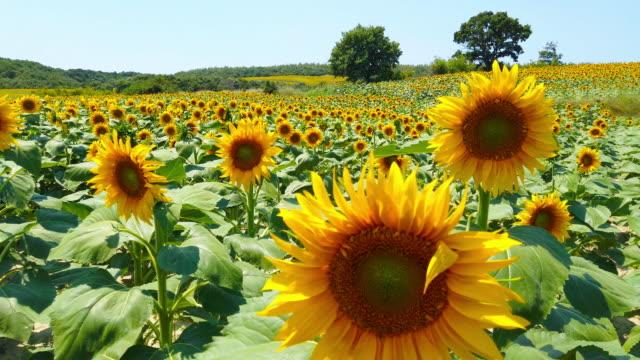 sunflower in sunny day - sunflower стоковые видео и кадры b-roll