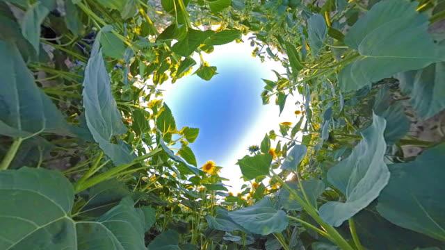 vídeos de stock e filmes b-roll de sunflower in sunny day - oscilar