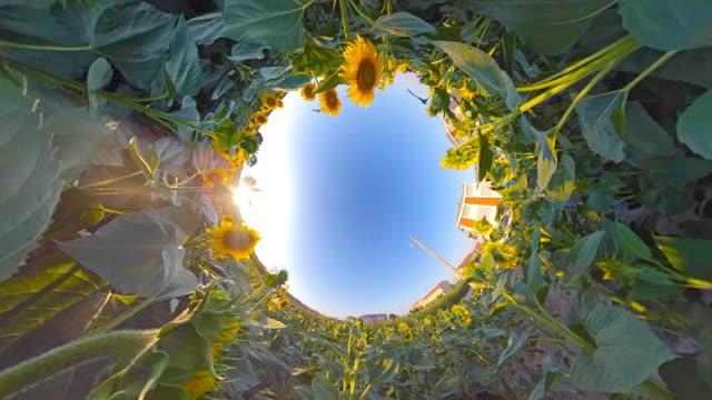 stockvideo's en b-roll-footage met zonnebloem in zonnige dag - floral line