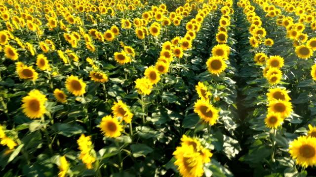 Sunflower infinity