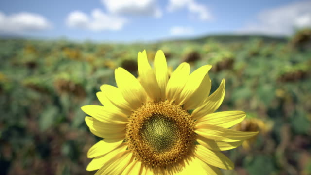 sunflower on a meadow agriculture field - stame video stock e b–roll