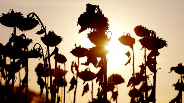Sunflower on a warm autumn day. At sunset video