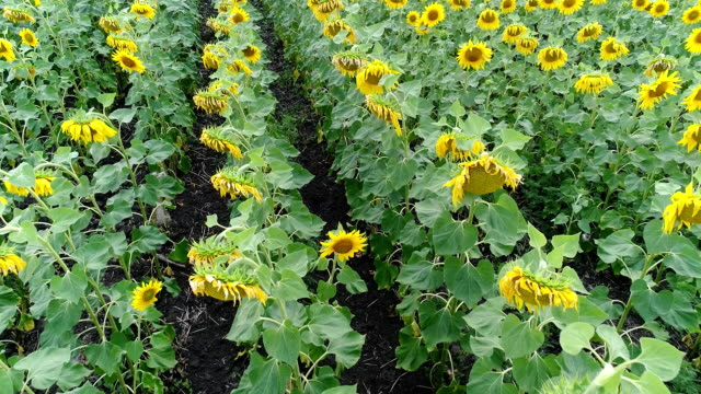 Sunflower on the field, Aerial view, Along the rows, flight, view from above, a lot of plants, movement video