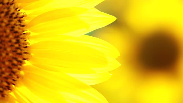 подсолнечник лепестками - sunflower стоковые видео и кадры b-roll