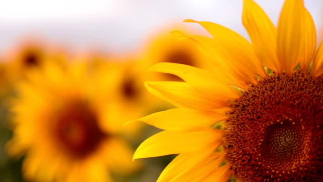 Sunflower petals video