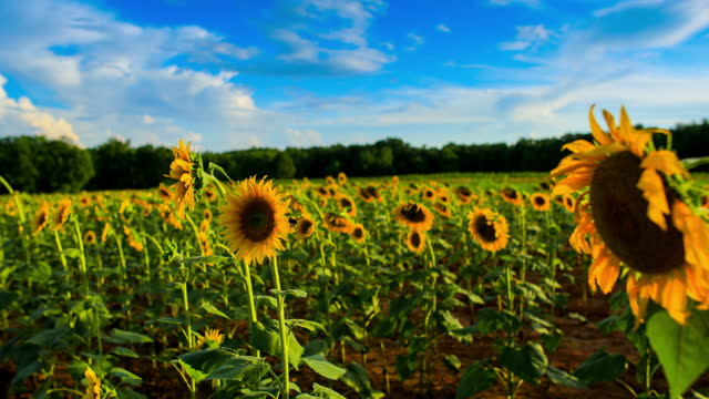 Sunflower plantation: time lapse and real-time footage series
