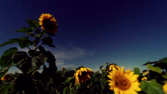 Sunflower Starlight video