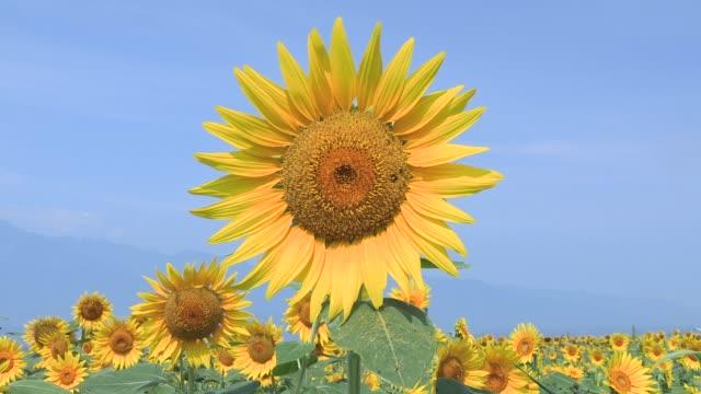 ひまわり夏のイメージ - ヒマワリ点の映像素材/bロール