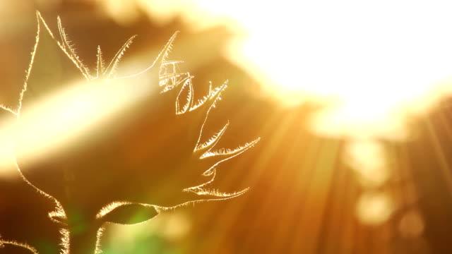 подсолнечник sunbeams - sunflower стоковые видео и кадры b-roll
