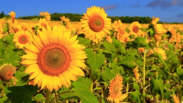sunflower - sunflower стоковые видео и кадры b-roll