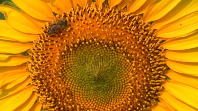 sunflower. - pollinering bildbanksvideor och videomaterial från bakom kulisserna