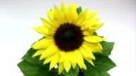istock Sunflower 472517755