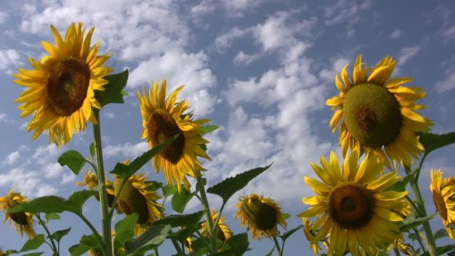 Sonnenblume. – Video