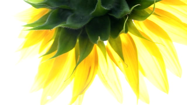 HD: Sunflower flower potted plant stock videos & royalty-free footage