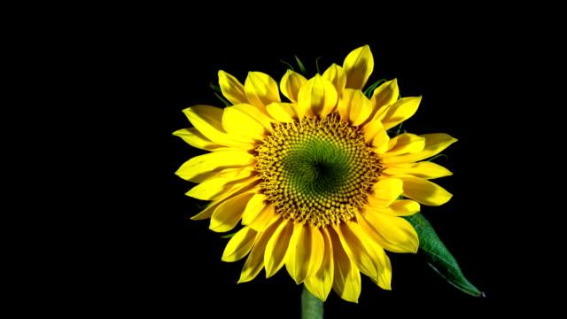 подсолнух - sunflower стоковые видео и кадры b-roll