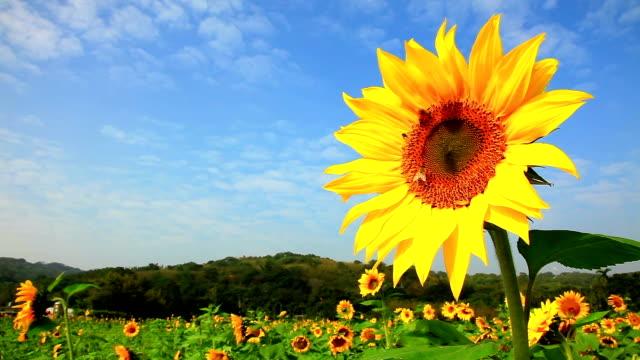 Sonnenblume mit Biene fliegt – Video