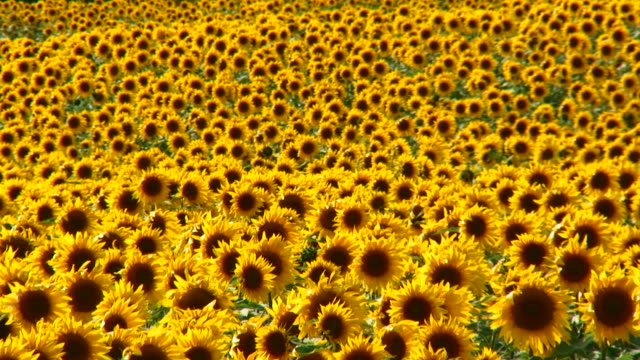 «подсолнухи» 02 - sunflower стоковые видео и кадры b-roll