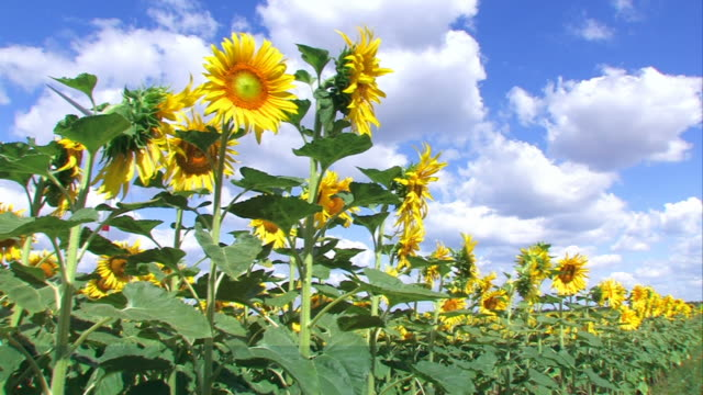 Sunflowers and clouds video