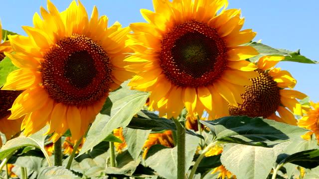 Sunflowers close-up, field video