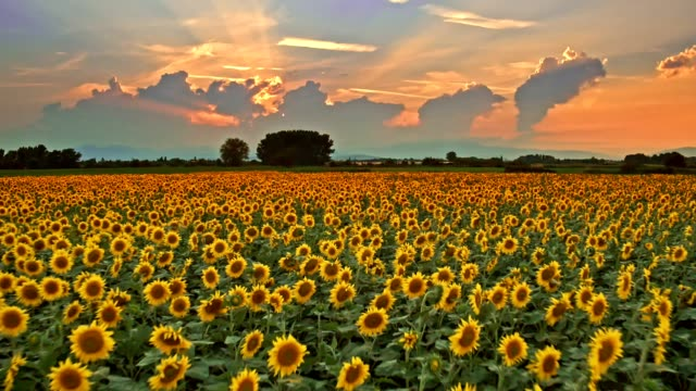 Sunflowers field at sunset video