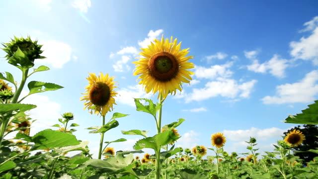 sunflowers フィールドの浅い簡単に、フォーカス - ヒマワリ点の映像素材/bロール