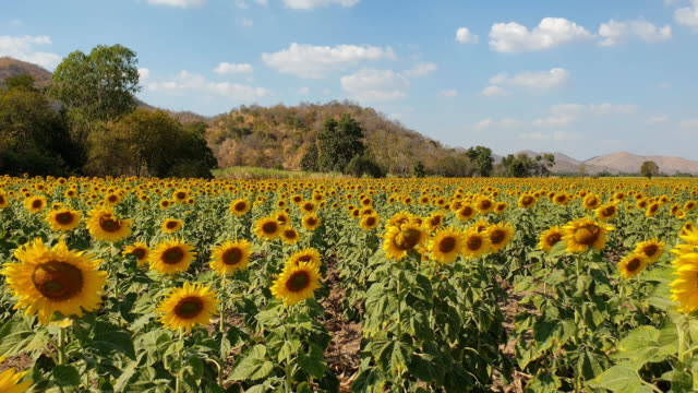 Sunflowers field in summer