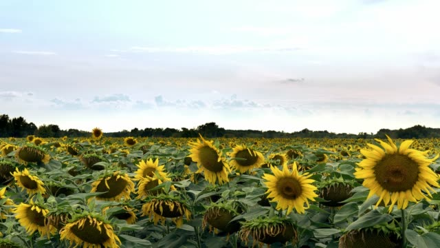 Sunflowers field time lapse