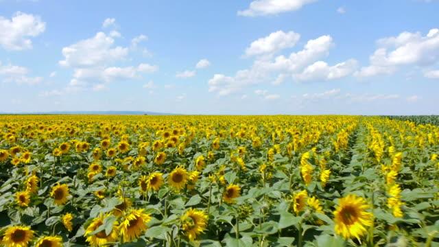 sunflowers フィールド - ヒマワリ点の映像素材/bロール