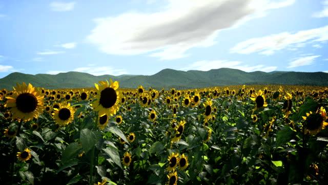 Sunflowers Following Sun
