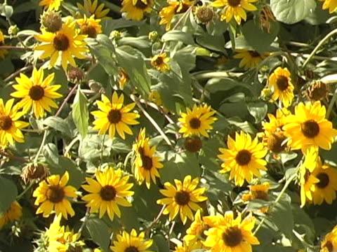 vídeos de stock, filmes e b-roll de girassóis: ícone do país de estar - flor temperada
