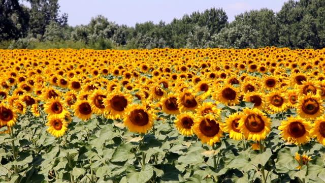 sunflowers のフィールド - ヒマワリ点の映像素材/bロール