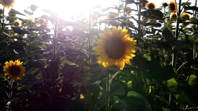 vídeos de stock, filmes e b-roll de girassóis no campo. belos campos com girassóis no verão. - flor temperada
