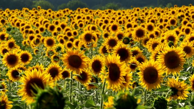 Sunflowers in the Field Swaying in the Wind Sunflowers in the Field Swaying in the Wind. Close-up. Beautiful fields with sunflowers in the summer. allegory painting stock videos & royalty-free footage