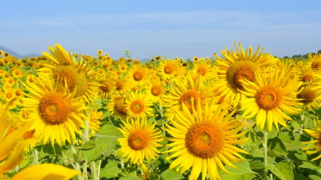 sunflowers のフィールドでは、春季 - ヒマワリ点の映像素材/bロール