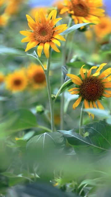 hd: sunflowers in the wind (video) - vertical format video stock videos and b-roll footage