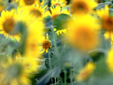 NTSC: Sunflowers in the wind (video) Sunflowers are aflutter in the wind monoculture stock videos & royalty-free footage