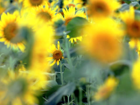PAL: Sunflowers in the wind (video) Sunflowers are aflutter in the wind monoculture stock videos & royalty-free footage