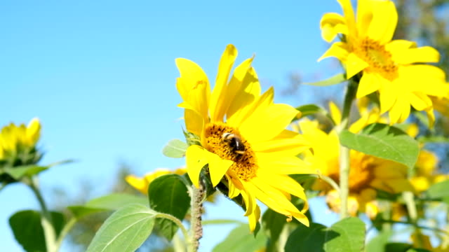 Sunflowers in the wind with a bee (bumblebee) foraging