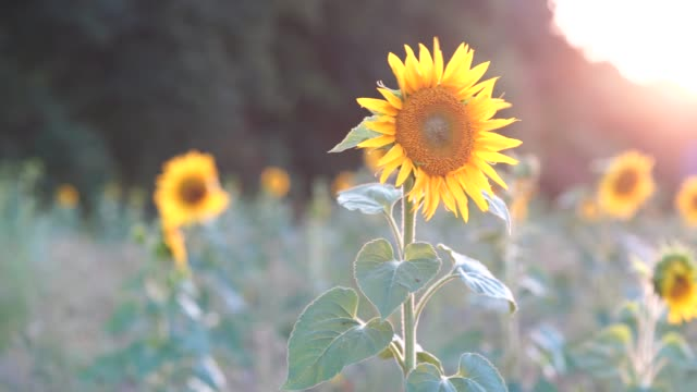 Sunflowers on a field in front of a forest at sunset on a windy summer evening, shallow depth of field