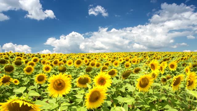 stockvideo's en b-roll-footage met zonnebloemen op een veld - time-lapse - floral line